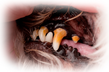 Check Pets Teeth regularly