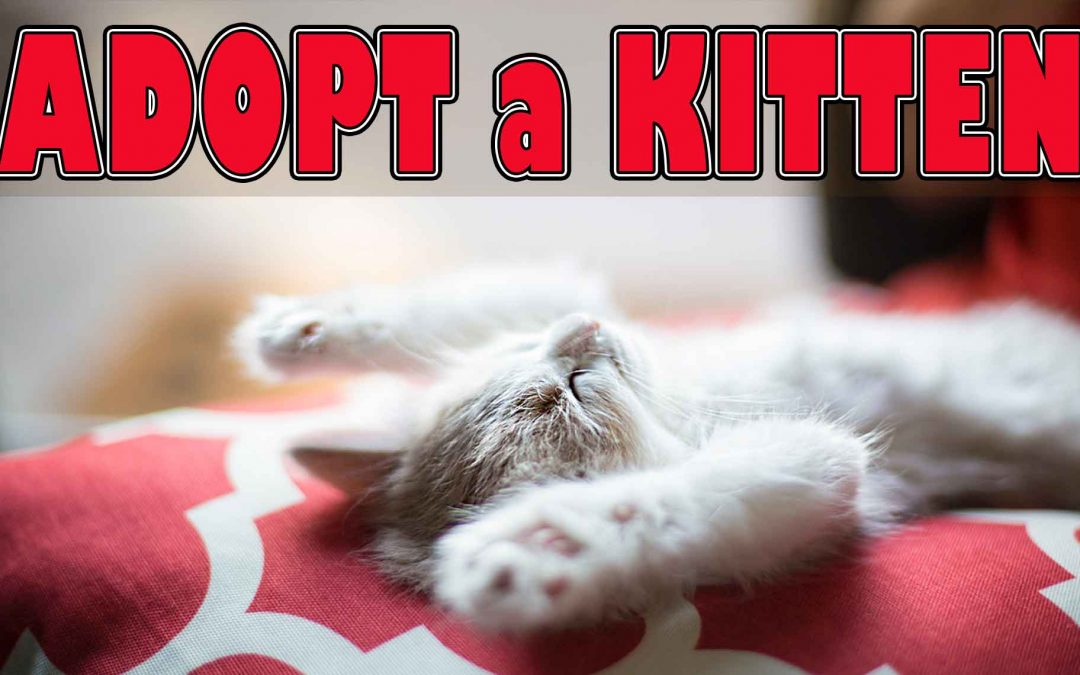 Adopt a Kitten from Hanly Veterinary Clinic